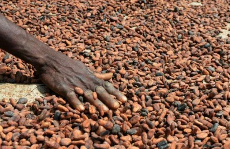 Cacao : CCC exige le respect prix minimum de 1000 F CFA/Kg