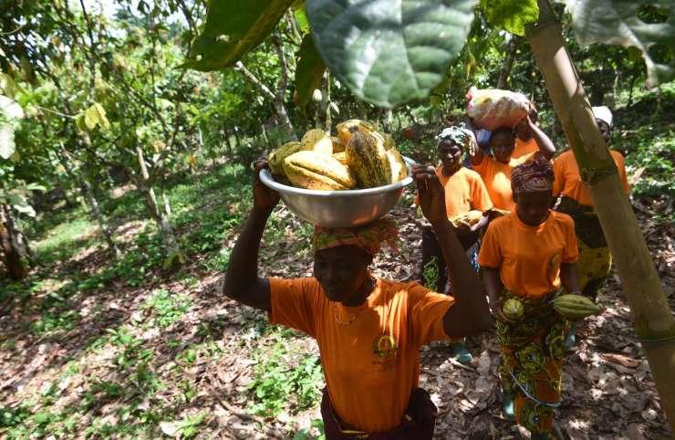 Prix du cacao : la menace de la déforestation